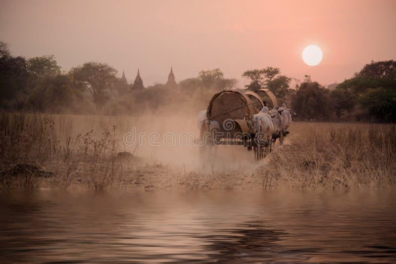BAGAN, MYANMAR: Estrada rural burmese, puxar branco de duas vacas fotografia de stock royalty free