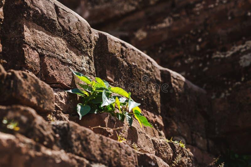 Bagan Myanmar - FEBRUARI 21. 2014: Slutet av växten växer upp på Buddh arkivbild