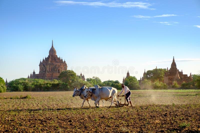 Bagan Myanmar - 1 Juli, 2015: Bonden arbetar på fältet med Co royaltyfri fotografi