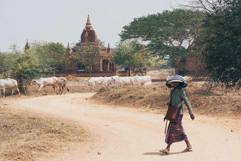 Bagan Myanmar, Marzec, - 2019: Pasterski pasanie chudziutka krowa przez suchego pola z świątyniami i pagodami antyczny Bagan dale zdjęcie royalty free