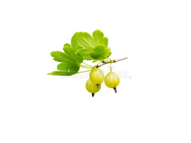 Bagas amarelas maduras da groselha e folhas verdes imagens de stock