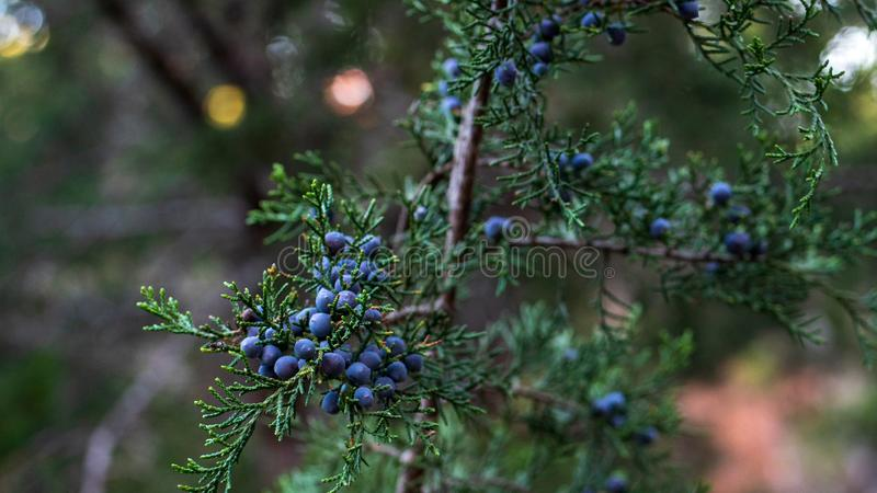Bagas azuis da árvore do cedro vermelho nos grupos na árvore na queda atrasada imagens de stock royalty free