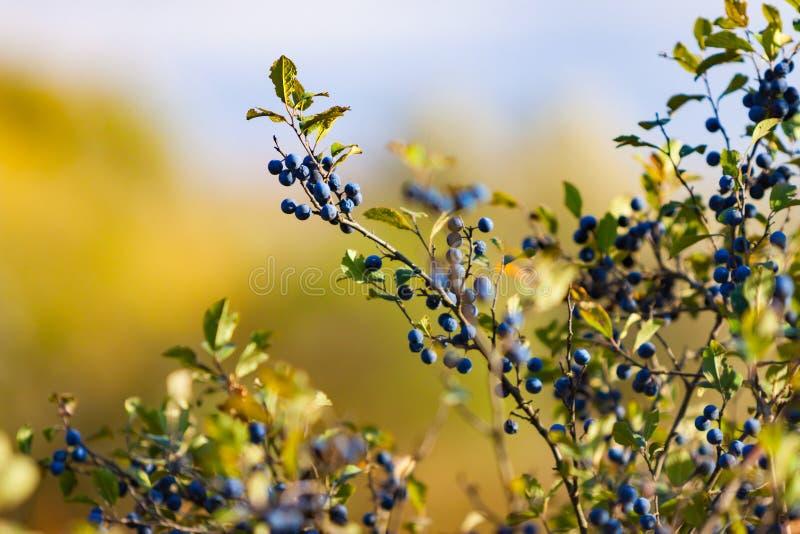 Bagas azuis da madressilva que penduram do ramo, foco macio foto de stock