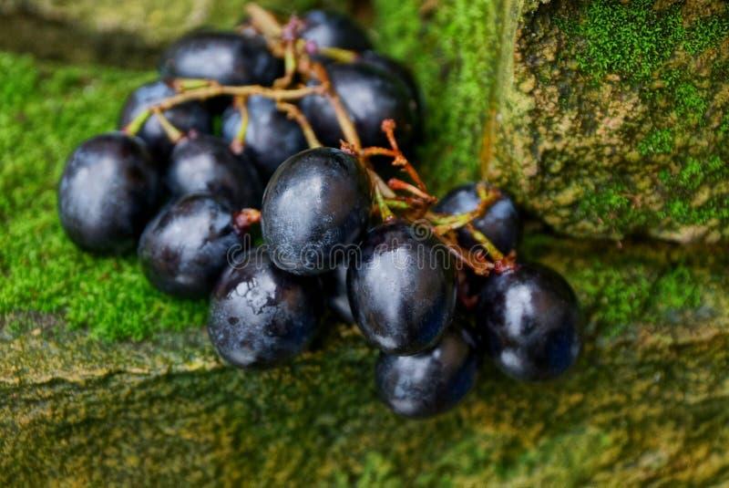 Bagas azuis de uvas maduras nas pedras cobertas com o musgo fotografia de stock