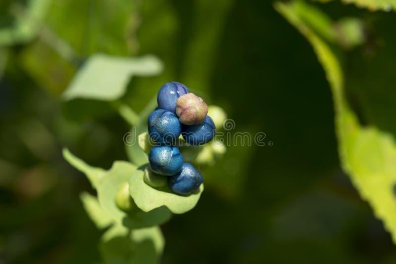 Bagas azuis e brancas no arbusto imagens de stock