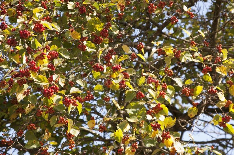 bagas da Guelder-rosa em uma árvore fotos de stock royalty free