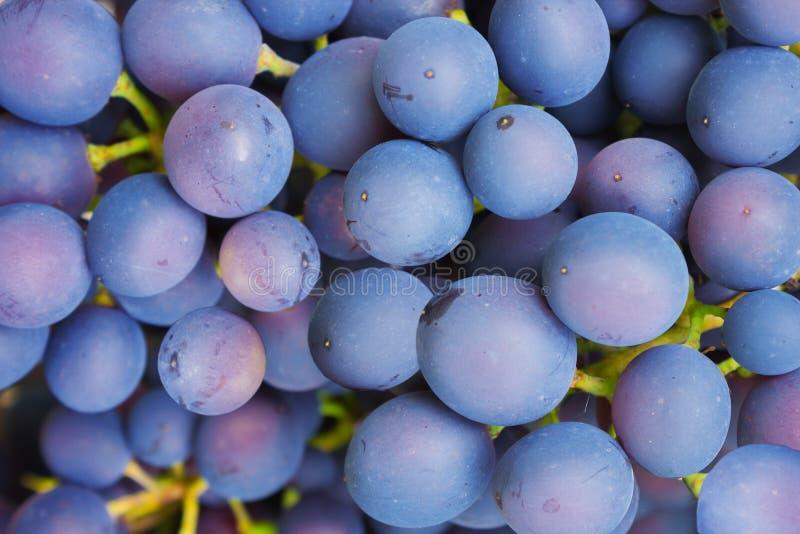 Bagas da madureza azul do ganho das uvas imagem de stock