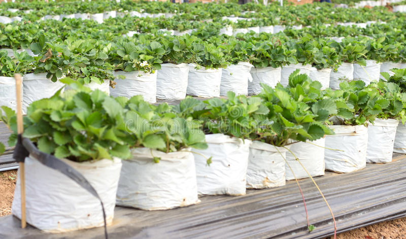 Bagas da morango crescidas em um saco de plástico branco foto de stock