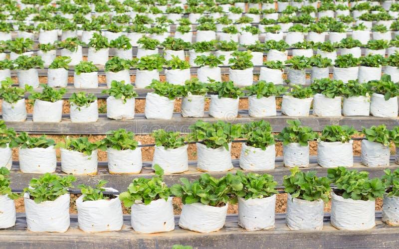 Bagas da morango crescidas em um saco de plástico branco imagens de stock royalty free