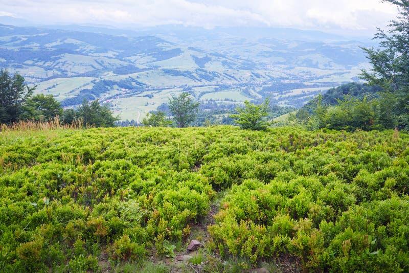 Bagas de Bush altas nas montanhas imagem de stock