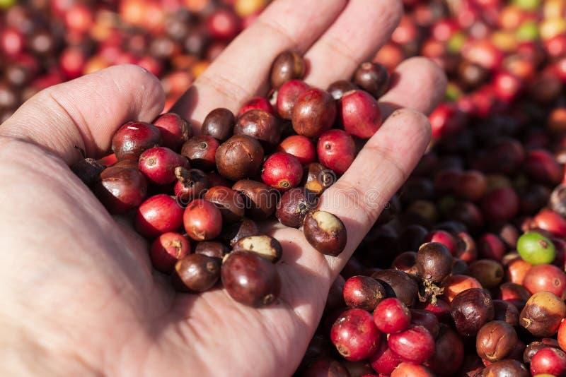 Bagas de café frescas da goma-arábica Exploração agrícola orgânica do café fotografia de stock royalty free