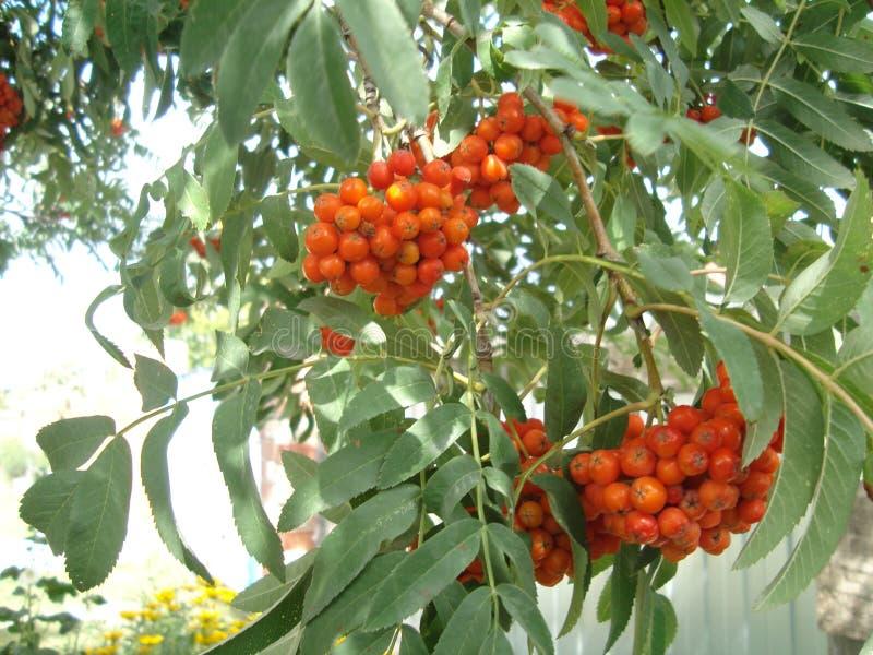 Bagas de Rowan nos ramos da árvore imagem de stock