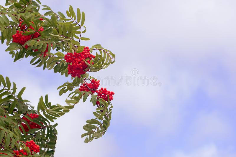 Bagas de Rowan vermelhas em um dia de verão ventoso Contra um c?u nebuloso fotos de stock royalty free