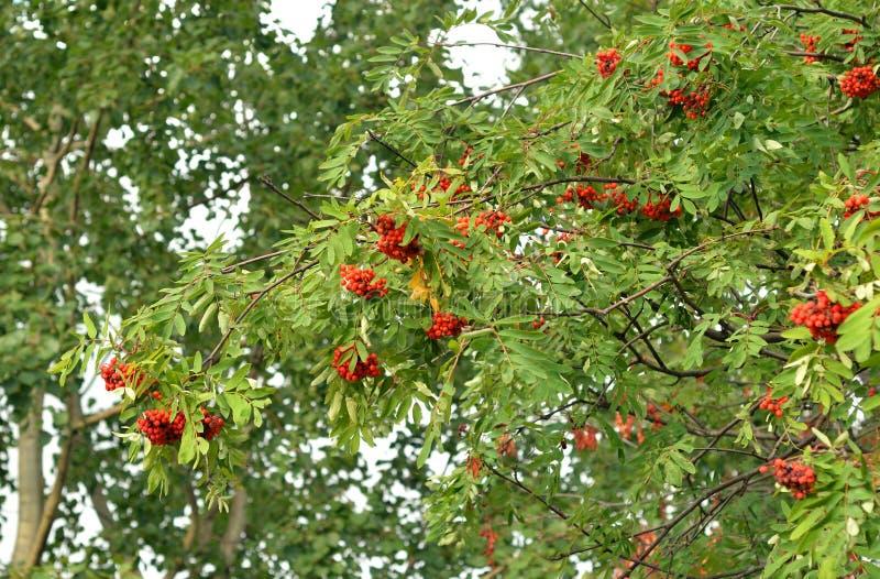 Bagas de Rowan vermelhas na árvore foto de stock