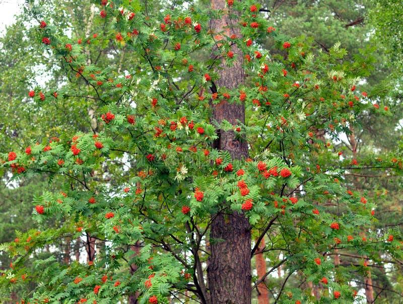 Bagas de Rowan vermelhas na árvore imagem de stock royalty free