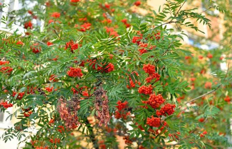 Bagas de Rowan vermelhas na árvore fotos de stock