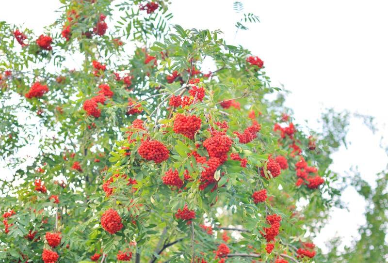 Bagas de Rowan vermelhas na árvore fotografia de stock royalty free