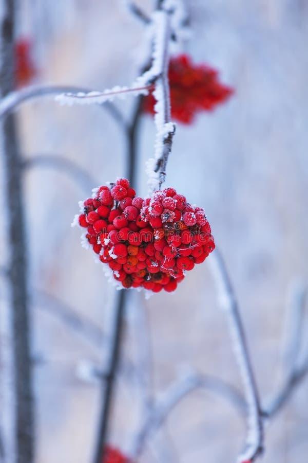 Bagas de Rowan vermelhas vibrantes cobertas pela neve em ramos de árvore imagem de stock