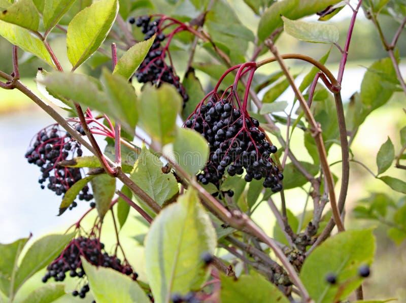 Bagas de sabugueiro maduras que crescem selvagens em uma árvore pelo canal imagens de stock royalty free