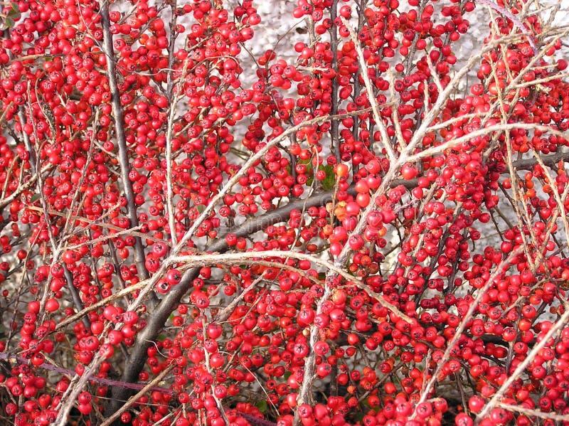 Bagas do Cotoneaster fotografia de stock royalty free
