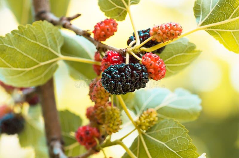 Bagas maduras da amoreira em ramos de uma árvore foto de stock royalty free