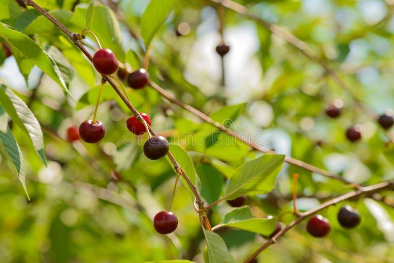 Bagas maduras da cereja nos ramos foto de stock
