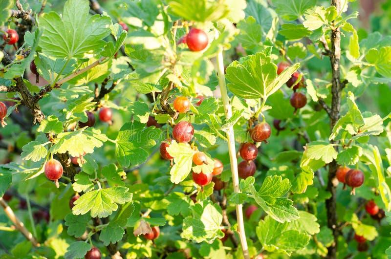 Bagas maduras de uma groselha em um arbusto no verão fotos de stock royalty free