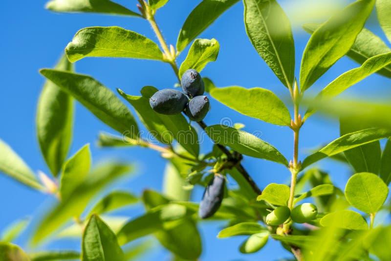 Bagas maduras do Lonicera comestível da madressilva em um ramo em um fundo das folhas verdes delicadas e do céu azul foto de stock