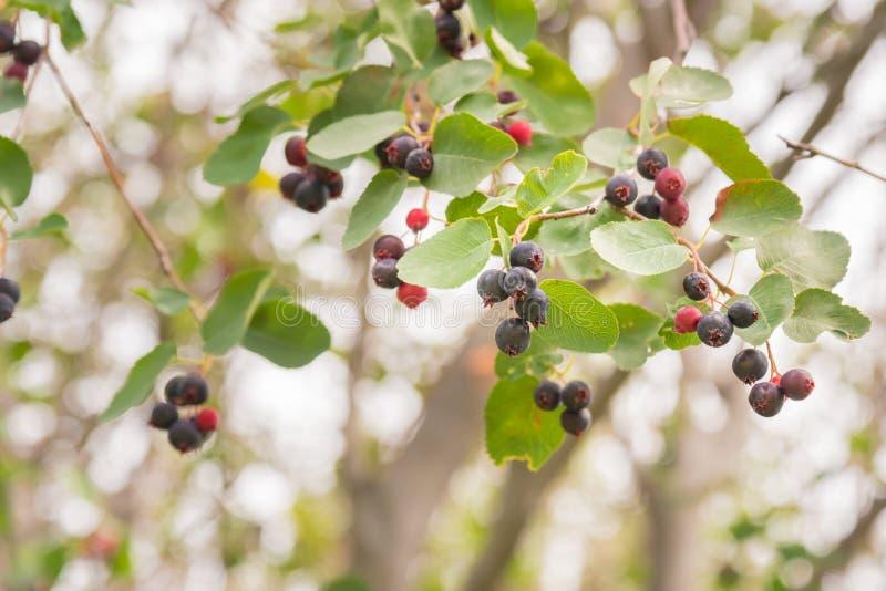Bagas maduras selvagens de saskatoon do close-up no ramo do arbusto fotos de stock