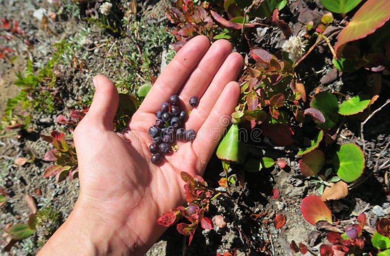 Bagas selvagens do recolhimento da m?o Colhendo mirtilos Bagas escuras maduras da uva-do-monte em uvas-do-monte da colheita da fl fotografia de stock royalty free