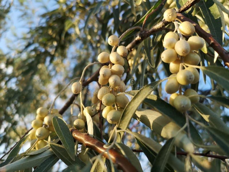 Bagas selvagens verdes do deserto em uma árvore fotos de stock royalty free