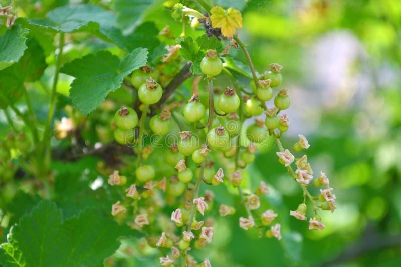 Bagas verdes do corinto vermelho em um close up do arbusto fotografia de stock royalty free
