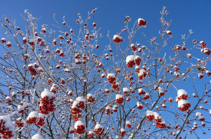 Bagas vermelhas brilhantes cobertas com a neve que pendura em ramos, contra um céu azul brilhante no inverno fotos de stock