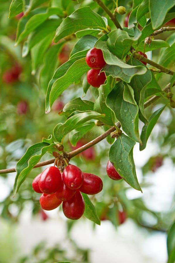 Bagas vermelhas brilhantes do cornel no ramo fotografia de stock royalty free