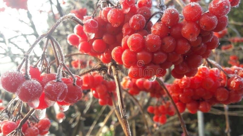 Bagas vermelhas brilhantes maduras do viburnum no jardim coberto em gotas da chuva e na neve branca de cristal imagens de stock royalty free