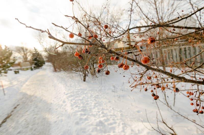 Download Bagas Vermelhas Congeladas Em Um Ramo Imagem de Stock - Imagem de planta, orgânico: 65577623