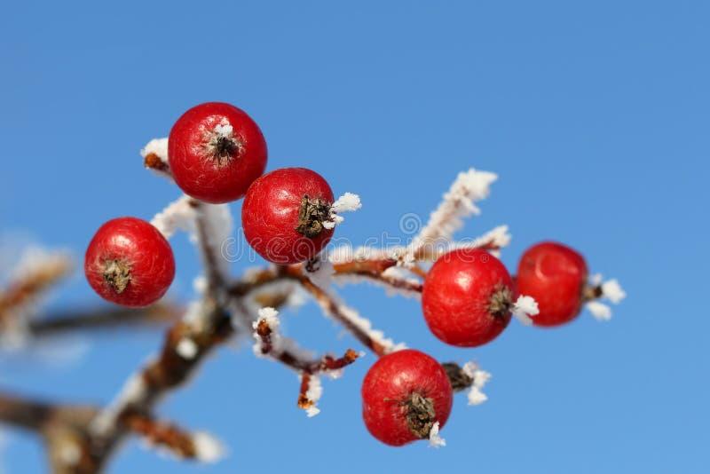 Bagas vermelhas de Rowan na geada do inverno de encontro ao céu azul imagem de stock