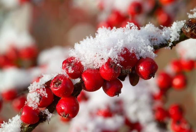 Bagas vermelhas do Cotoneaster com neve foto de stock