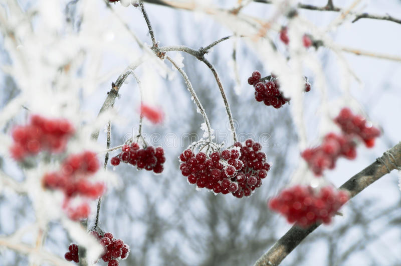 Bagas vermelhas do inverno no ramo foto de stock