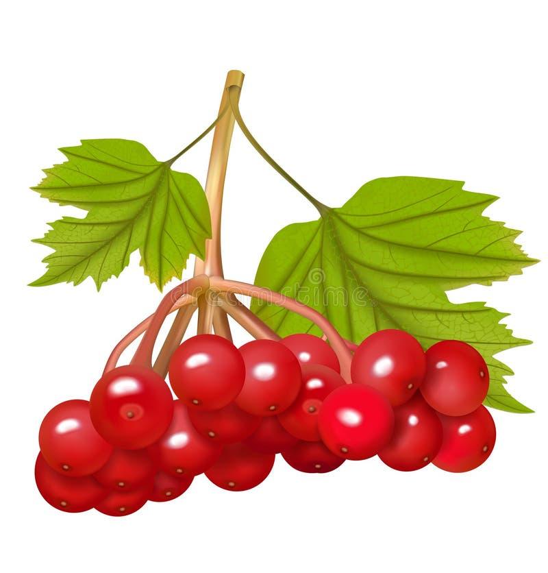 Bagas vermelhas do viburnum com folhas Ilustração do vetor fotos de stock royalty free