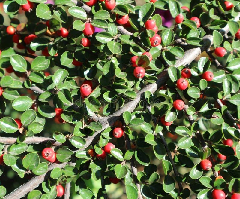 Bagas vermelhas dos horizontalis de Cotoneaster em um dia ensolarado foto de stock