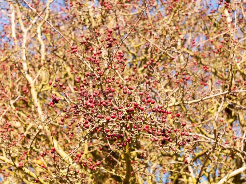 Bagas vermelhas no ramo desencapado da árvore no outono fora imagem de stock