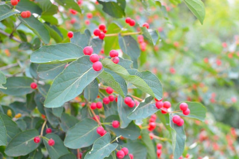 Bagas vermelhas pequenas em um arbusto fotografia de stock royalty free