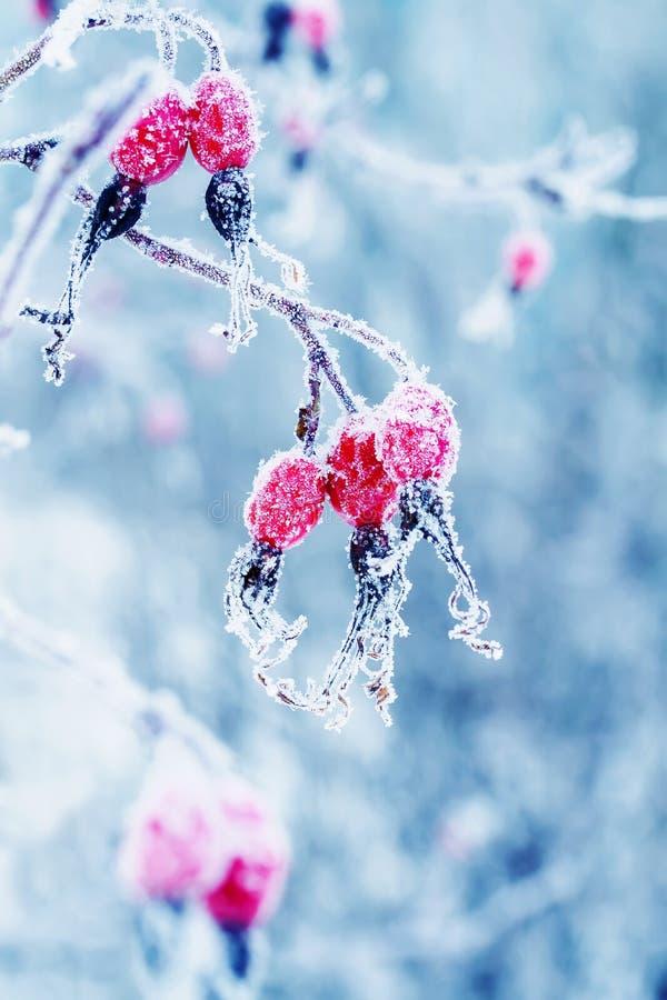 Bagas vermelhas suculentas bonitas do rosehip que penduram no wintergarden imagens de stock royalty free