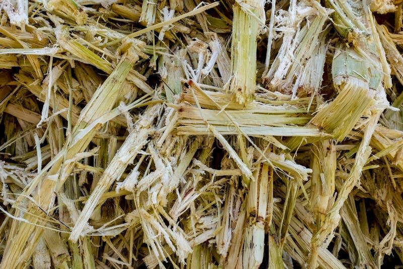 Bagassa della canna da zucchero La fine su di bagassa è il materiale fibroso rimasto dal processo dell'estrazione della canna da  immagine stock