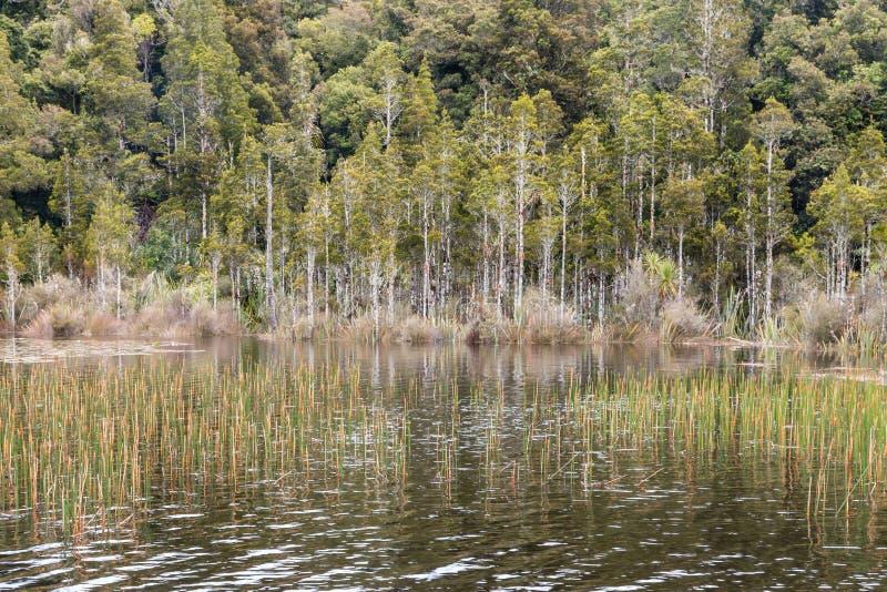 Bagna z płochami i podocarp drzewami w Nowa Zelandia lesie obraz stock