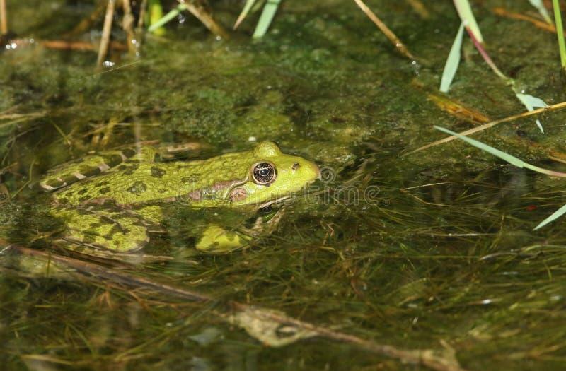 Bagno żaby Pelophylax Rana ridibunda obsiadanie w strumieniu poprzedni częsciowo zanurzał w wodzie obraz royalty free