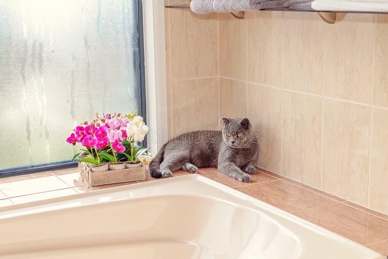 Bagno britannico di Cat Sitting Beside A dei capelli di scarsità fotografia stock libera da diritti