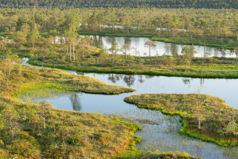 Bagno, brzozy, sosny i błękitne wody, Wieczór światło słoneczne w bagnie Odbicie bagien drzewa Fen, jeziora, las fotografia royalty free