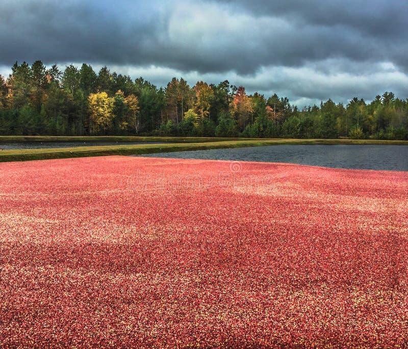 Bagno cranberries przygotowywający dla żniwa fotografia stock